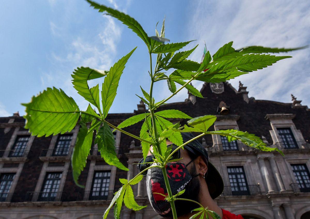 Legalización: La Corte Suprema da libertad para usar marihuana para recreación en México