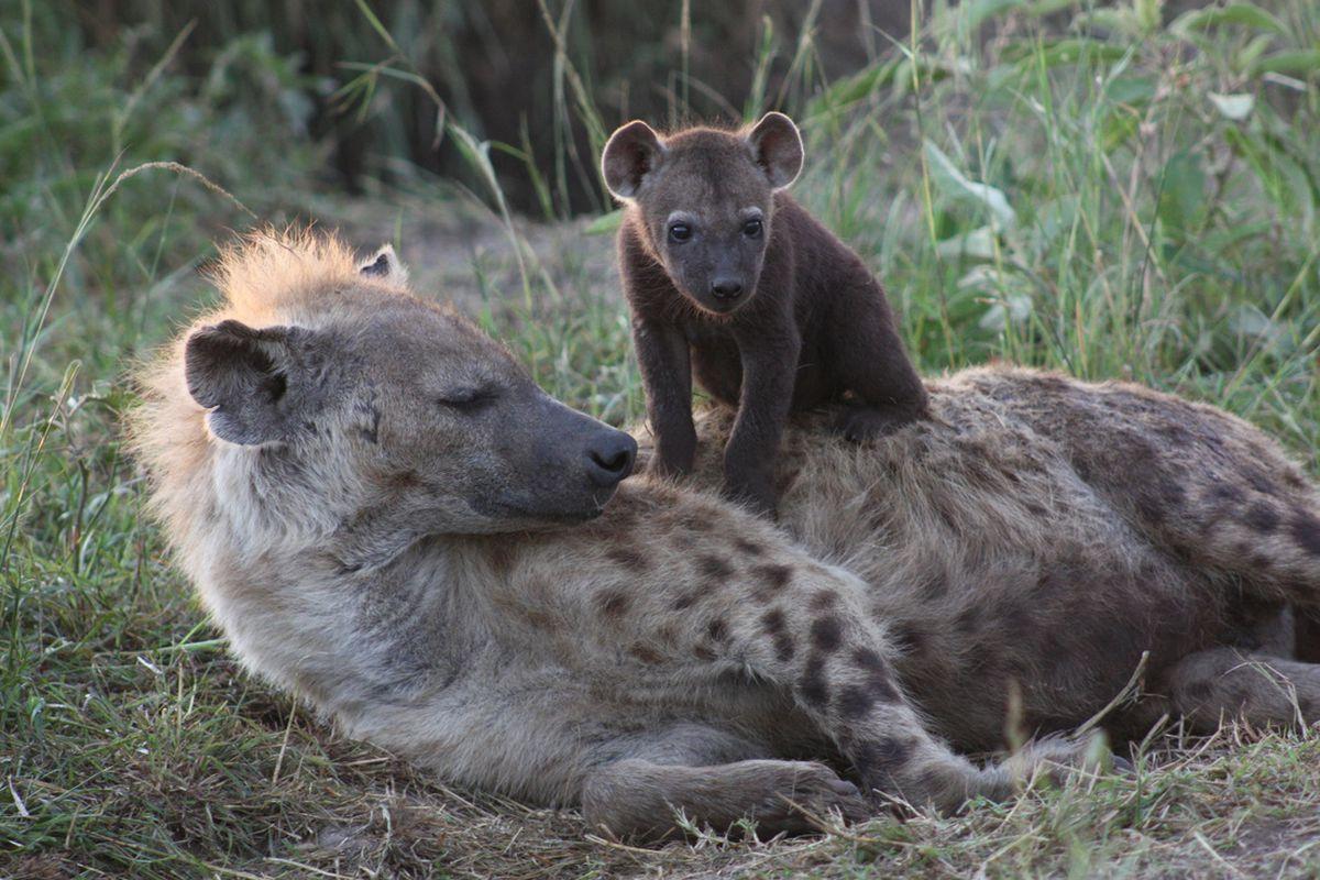 """Las hienas de clase alta heredan los contactos sociales para vivir más y mantener el """"status quo"""" de la manada    Ciencias"""
