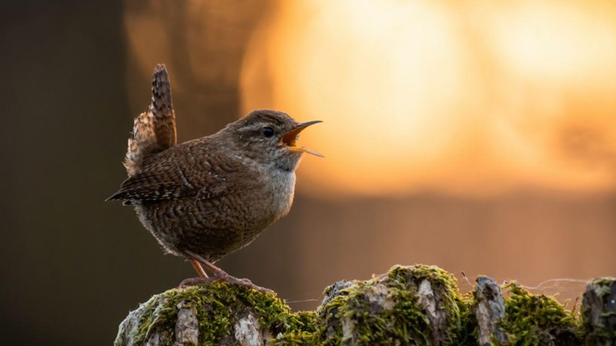 ¿Por qué todos los pájaros cantan al anochecer?  |  Los científicos responden