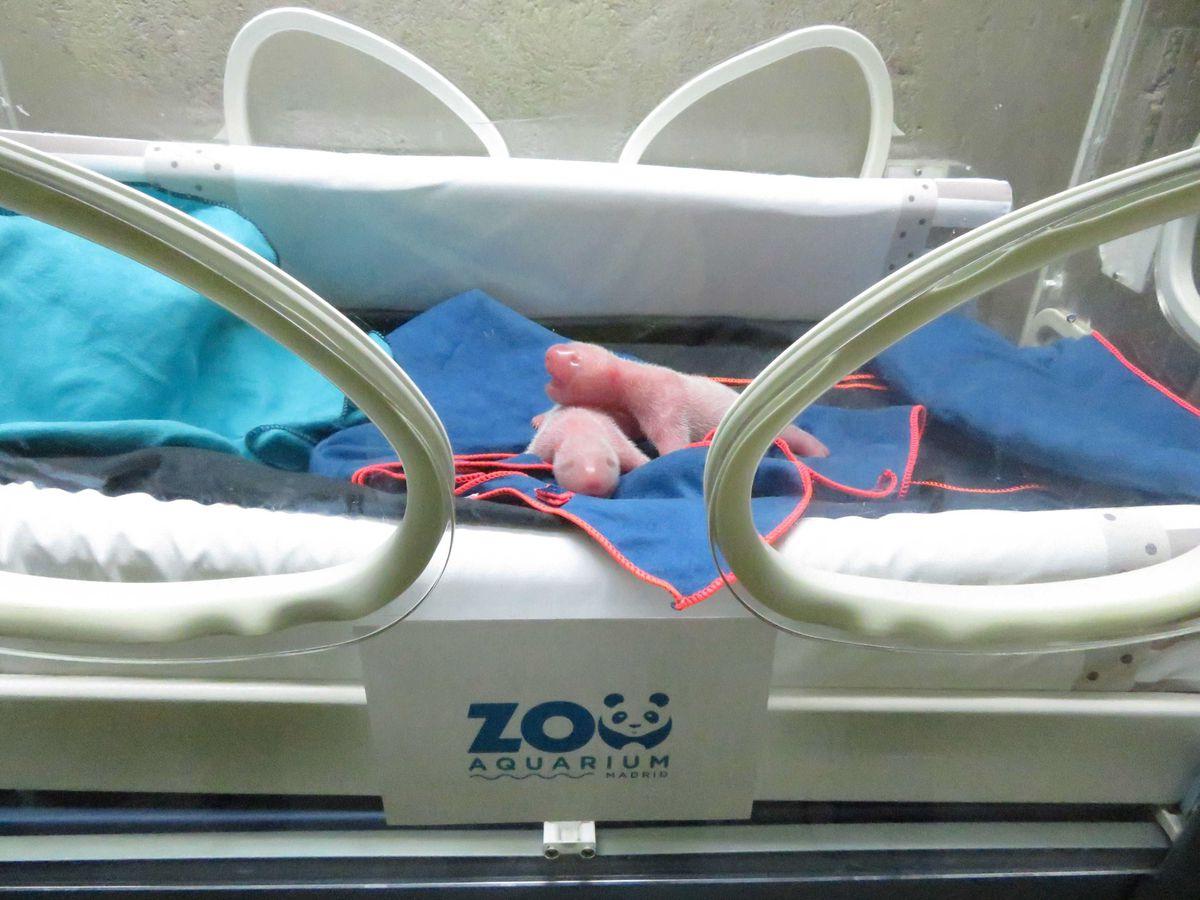 Nueva técnica permite que nazcan dos osos panda en el Zoo de Madrid  Ciencias
